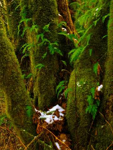 snow and ferns on old maple